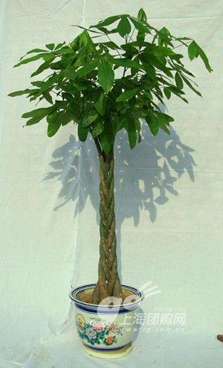 发财树:又称花生树,它的特点是干茎粗壮,树叶尖长而苍绿,耐种而易长