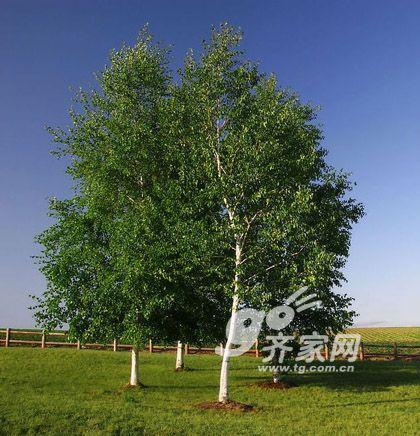 材种家具桦木:西南家具百科介绍v材种树种上海誉盈有限公司图片