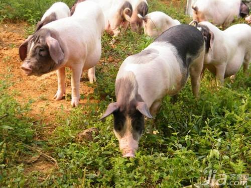2016年属猪人的运势 属猪的最佳配偶有哪些