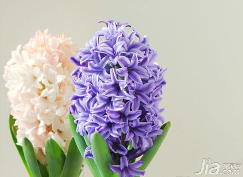 淡紫色的风信子:轻柔的气质,浪漫的情怀 桃红色的风信子:热情,期望得