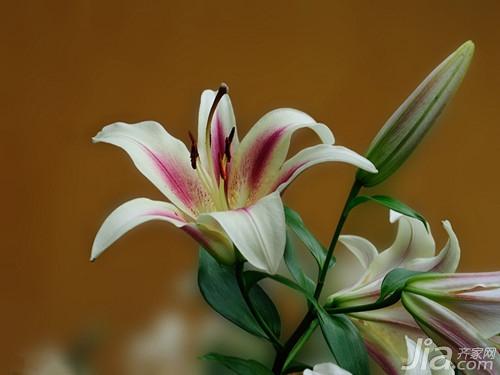 百合花象征什么 百合花的象征意义图片