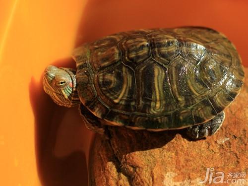 巴西龟怎么分公母 巴西龟分辨公母方法介绍图片