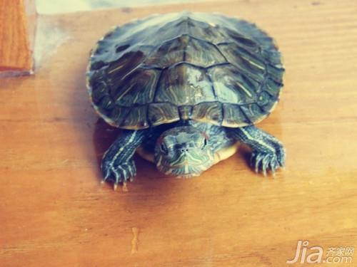 巴西龟/二、成年...