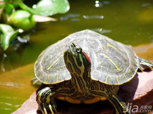 巴西龟怎么养 巴西龟的饲养方法介绍图片