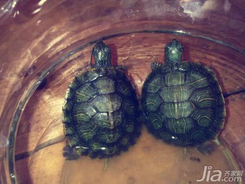 巴西龟怎么养 巴西龟的饲养方法介绍