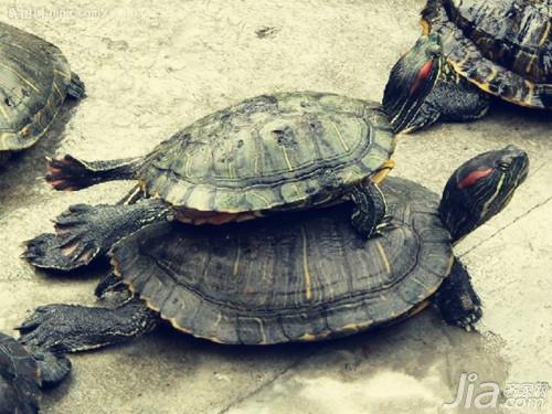 巴西龟吃什么