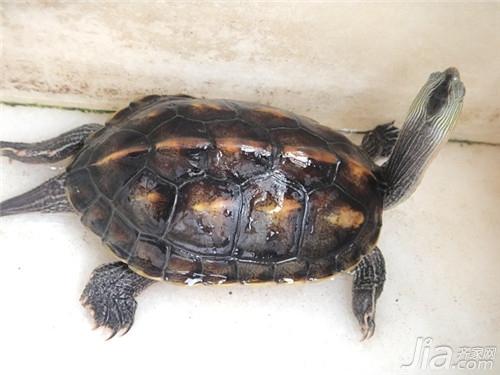乌龟怎么分公母 乌龟公母鉴别技巧解析图片