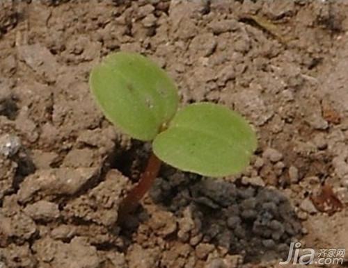 凤仙花的生长过程 凤仙花的种植(栽培)方法