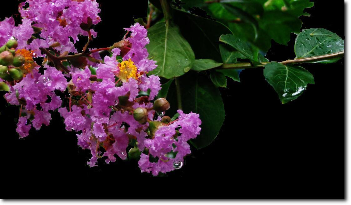 紫薇的养殖方法