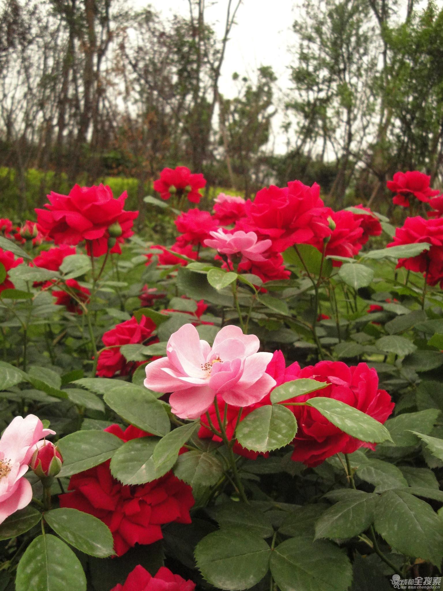 月季与玫瑰的区别