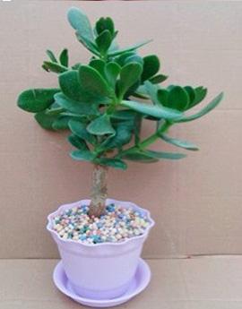 玉树花的养殖方法