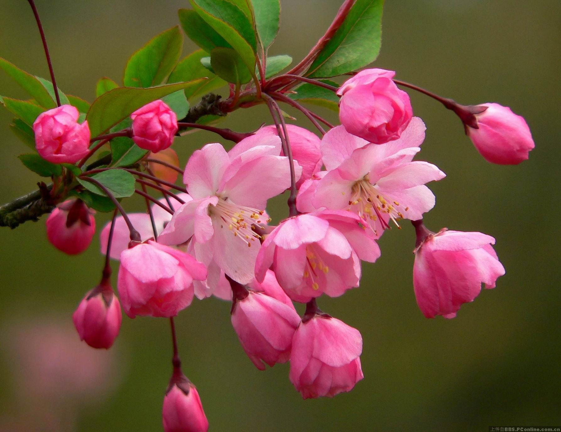 垂丝海棠常见虫害