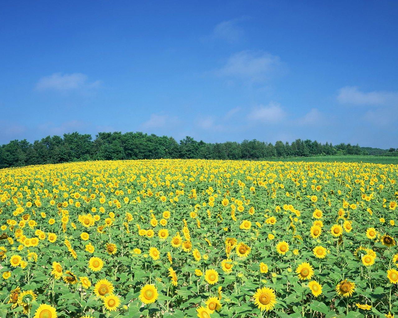 壁纸 成片种植 风景 花 植物 种植基地 桌面 1280_1024