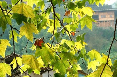 法国梧桐树叶大,轮廓阔卵形,宽9-18厘米,长8-16厘米,基部浅三角状心形