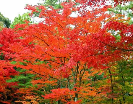 而属红叶树种的红枫,在秋天则叶片中产生了一种叫花色素苷的红色素,使