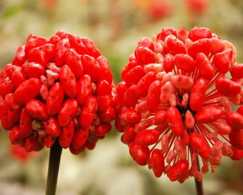 有催眠作用的花
