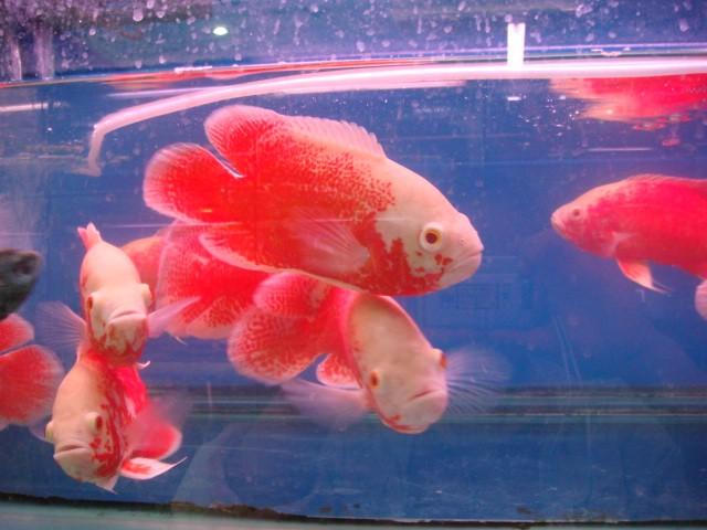 地图鱼常见病及防治方法