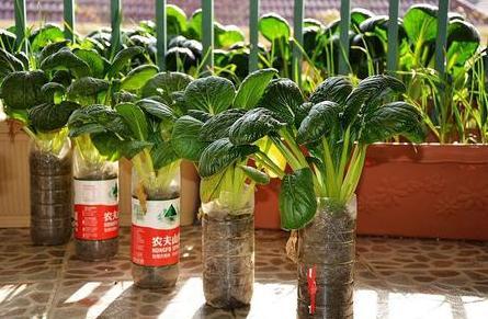 阳台种菜不但能部分满足家庭蔬菜供给,还能绿化美化生活空间,那么家庭