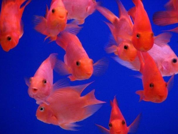鸚鵡魚怎么養
