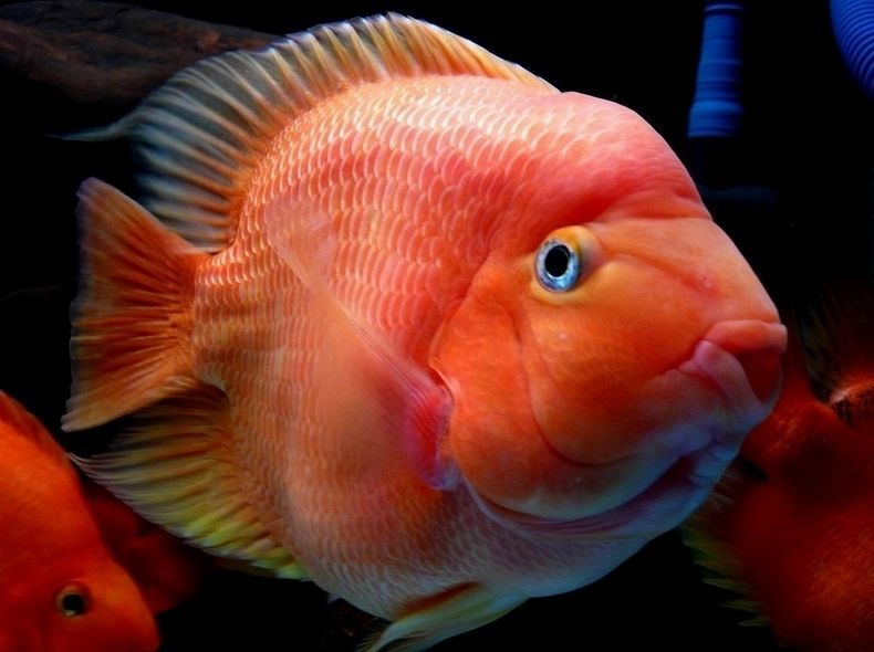 鸚鵡魚常見疾病防治