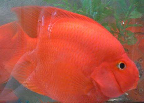 鸚鵡魚變白怎么辦