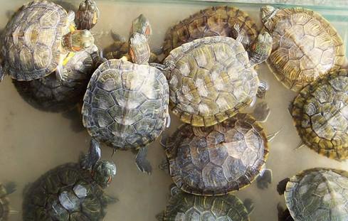 巴西紅耳龜怎么養