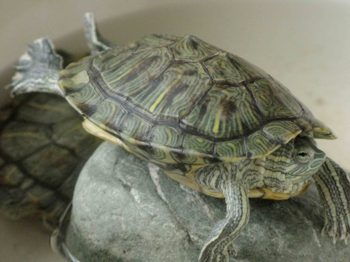 巴西红耳龟吃什么