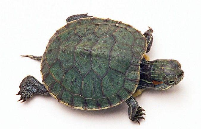 巴西红耳龟寿命