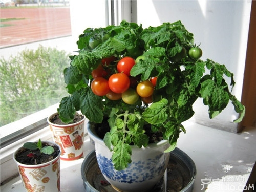 阳台西红柿的种植方法 种西红柿注意事项