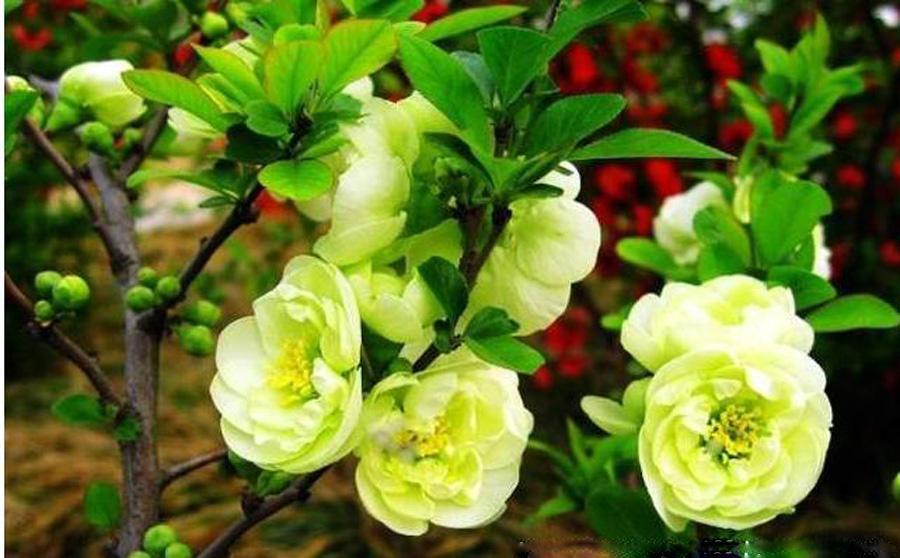 木瓜海棠形态特征,木瓜海棠的养殖方法,木瓜海棠的功效与作用,木瓜海棠的病害防治 齐家网