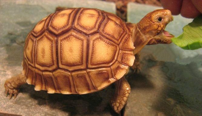 苏卡达龟是国家保护动物吗
