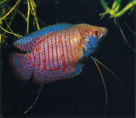 丽鱼混养,丽丽鱼怎么分公母,丽丽鱼寿命,丽丽鱼繁殖 齐家网图片
