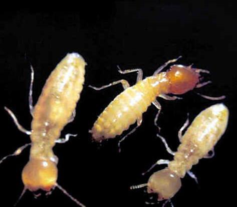 白蚁防治方法,白蚁怎么消灭,白蚁的危害,白蚁的天敌 齐家网图片