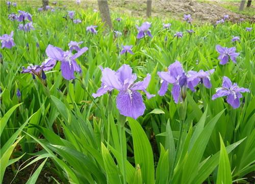【养花资讯】兰花种类都有哪些 野兰花怎么养图片