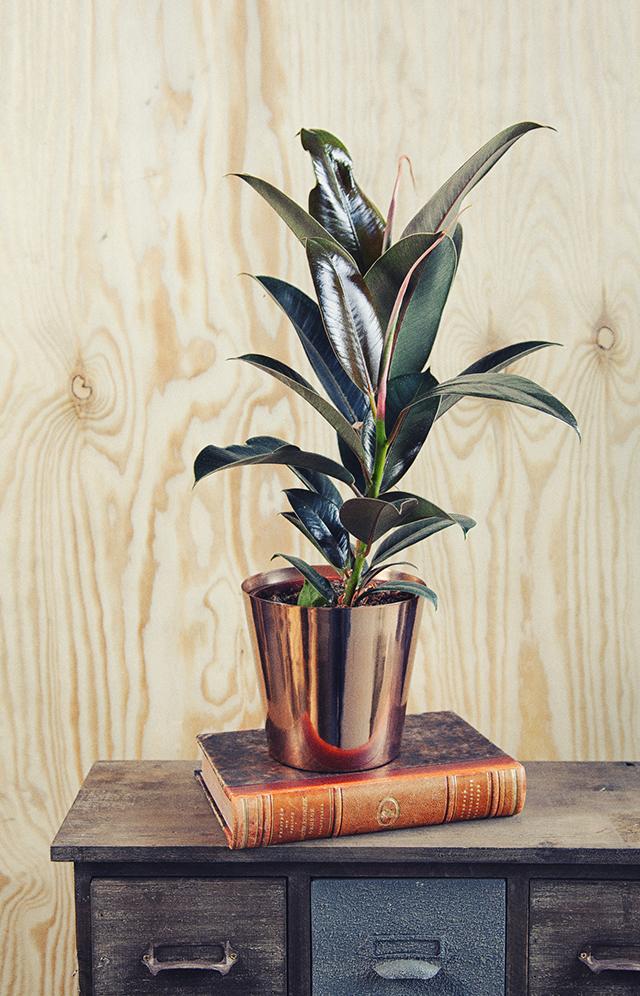 橡皮树 | 有气质的室内植物rubber