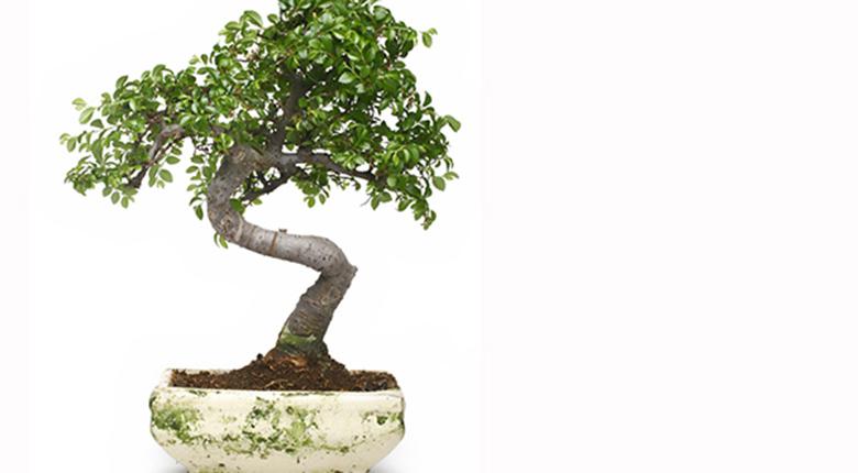 有哪些盆景植物可以放在卧室养植