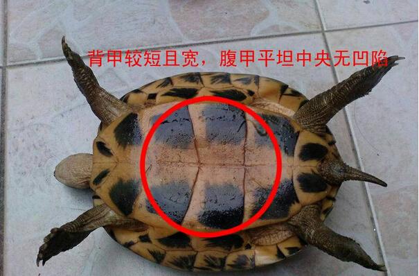 巴西龟怎么分公母 巴西龟分辨公母方法介绍