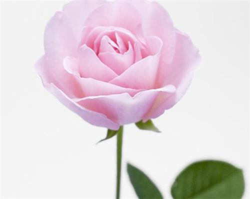 一朵玫瑰花代表什么意思 送玫瑰花的这些讲究