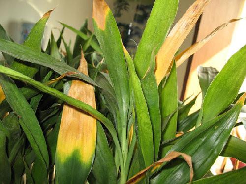 富贵竹叶子发黄怎么办 富贵竹叶子发黄是因为什么图片