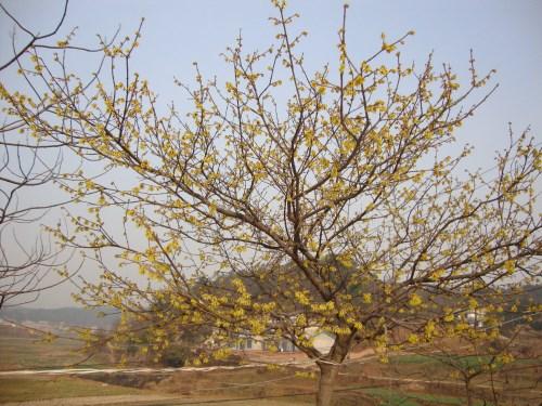 腊梅树图片大全 如何栽培腊梅树