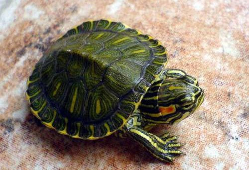 宠物龟的种类介绍 宠物龟吃什么长得快