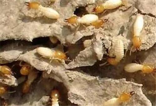 白蚁的危害大不大 请人清除白蚁一般要多少钱图片