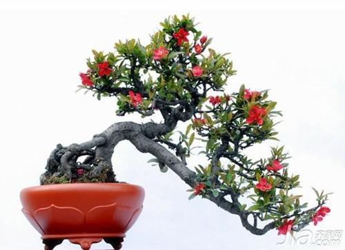 垂丝海棠的花期图片