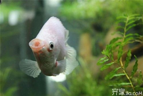 接吻鱼为什么会接吻_【接吻鱼】接吻鱼一天喂几次 接吻鱼怎么养_齐家网