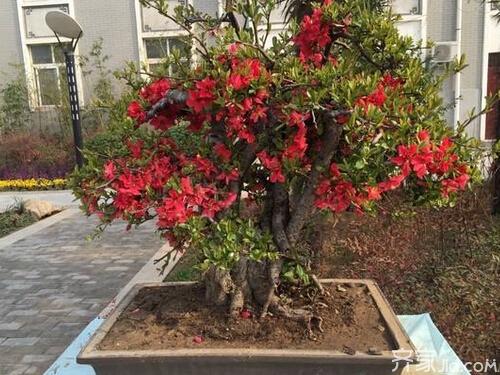 垂丝海棠的花语是什么图片